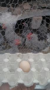 Das erste Sun Umbrella Hühnerei ...