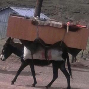 Ein Esel als Möbeltransporter ?!