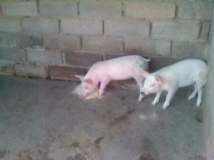 Aus Glückslosen wurden echte Glücksschweine :-) ...